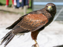 A Harris Hawk perched at a falconery display in the UK. A Harris Hawk bird of prey perched at a falconry display in the UK Stock Photography