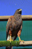 Harris Hawk Perching imagem de stock royalty free