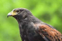 Harris Hawk Portrait Fotografia de Stock Royalty Free