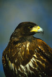Harris Hawk Portrait Stock Photo