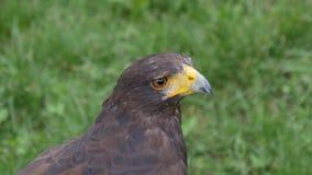 Harris Hawk Portrait stock footage