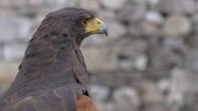 Harris Hawk Portrait stock video
