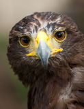 Harris Hawk Portrait Royalty Free Stock Photos