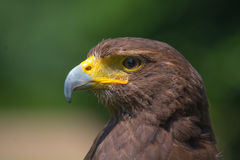 Harris Hawk Portrait Stockfotos