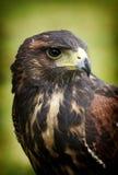 Harris hawk portrait. In natural environment Royalty Free Stock Photos