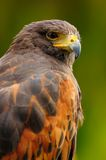 Harris hawk portrait Royalty Free Stock Images