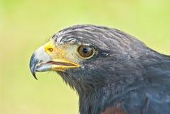 Harris Hawk Portrait foto de stock royalty free