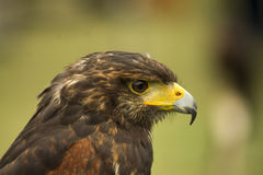 Harris Hawk portrait Stock Image