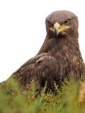 Harris hawk portrait Parabuteo unicinctus isolated on white background Royalty Free Stock Images