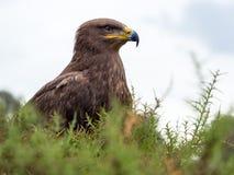 Harris hawk portrait Parabuteo unicinctus Royalty Free Stock Photo