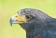 Harris hawk portrait. Sharp beak royalty free stock photo