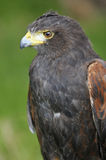 Harris Hawk portriat Stock Photography