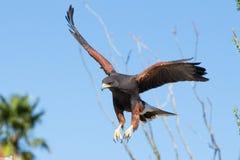 Harris Hawk que desce na rapina Imagens de Stock Royalty Free