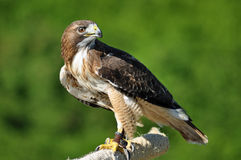 Harris Hawk que olha sobre o ombro Imagem de Stock