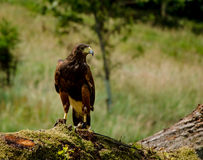 Harris Hawk at rest Royalty Free Stock Image