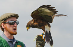 Harris Hawk s'est tenu par le manipulateur photos stock