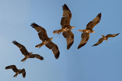 Harris hawk's flight sequence. Stock Photography