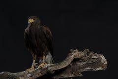 Harris hawk sitting on branch Stock Photo