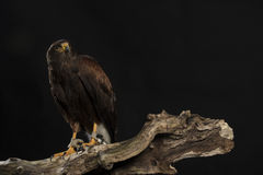 Harris hawk sitting on branch Royalty Free Stock Image