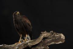 Harris hawk sitting on branch Royalty Free Stock Image