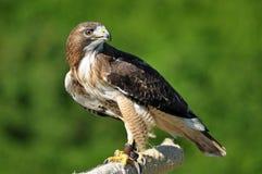 Harris Hawk som ser över skuldra Fotografering för Bildbyråer