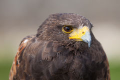 Harris Hawk staring Royalty Free Stock Photography