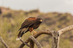 Harris Hawk sur la branche Images stock