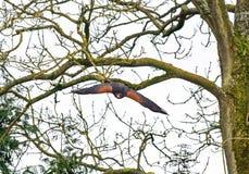 Harris hawk swooping em voo Fotografia de Stock Royalty Free