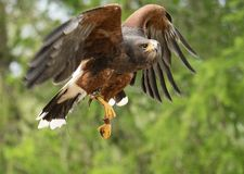 Harris hawk taking flight royalty free stock photo