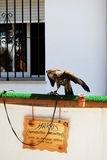 Harris Hawk tied to a bar, Spain. Royalty Free Stock Photo