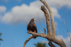 Harris Hawk in Tree Stock Images
