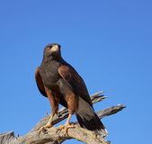 Harris Hawk in Tucson, Arizona Royalty-vrije Stock Afbeelding