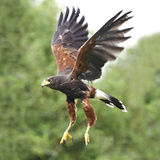 Harris Hawk (unicinctus de Parabuteo) Imagem de Stock Royalty Free