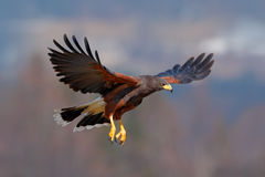 Harris Hawk, unicinctus de Parabuteo, ave rapaz en vuelo, en hábitat Imagen de archivo
