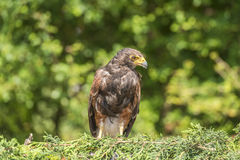Harris Hawk (unicinctus di Parabuteo) immagine stock