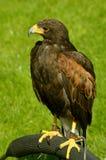 Harris Hawk fotografie stock