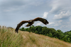 Harris Hawk in volo Fotografie Stock