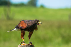 Harris hawk on a wooden pole Stock Photography