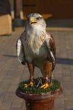 Harris Hawk y x28; Parabuteo Unicintus y x29; Foto de archivo libre de regalías