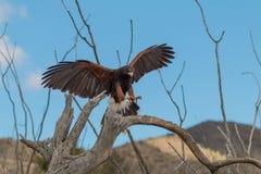 Harris jastrzębia lądowanie na gałąź Fotografia Stock