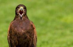 Harris jastrzębia Parabuteo unicinctus ptak zdobycz zdjęcia stock