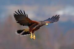 Harris jastrząb, Parabuteo unicinctus, ptak zdobycz w locie, w siedlisku Obraz Stock