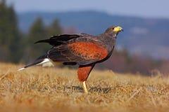 Harris jastrząb, Parabuteo unicinctus, siedzi w trawy siedlisku, czerwony ptak zdobycz Zdjęcia Royalty Free