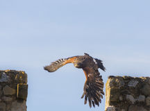 Harris jastrzębia latanie Obraz Royalty Free