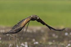 Harris jastrzębia latanie w naturze Zdjęcie Stock