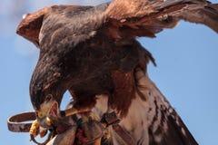 Harris jastrzębia Parabuteo unicinctus ptak zdobycz Fotografia Royalty Free