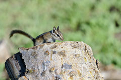Harris's antelope ground squirrel Stock Photos