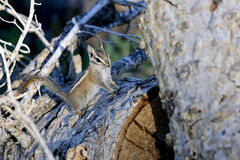 Harris's antelope ground squirrel Stock Image