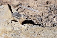 Harris's antelope ground squirrel Stock Images