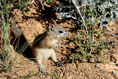 Harris's antelope ground squirrel Royalty Free Stock Images